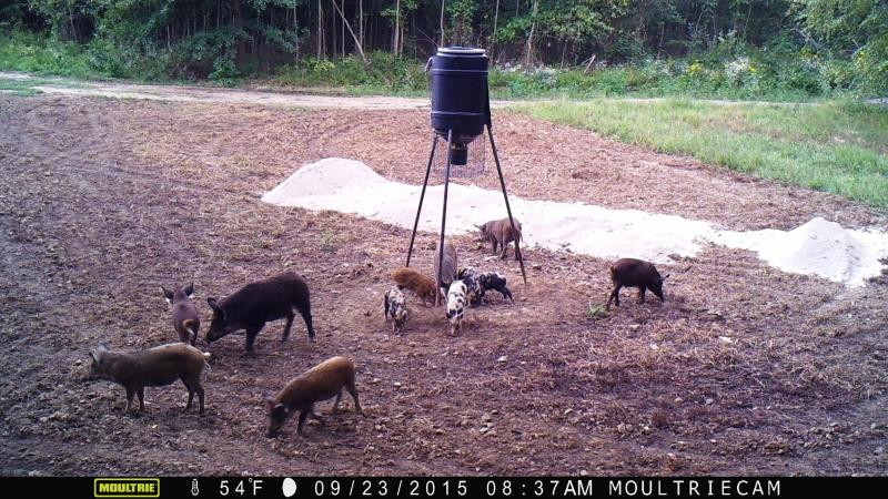 2016 feral hog hunts in se oklahoma fish farm outfitters for Oklahoma fishing license cost